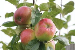 Omenapuu Siloposken kaunotar