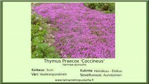 Harmaa-Ajuruoho 'Coccineus'