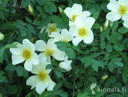 Ruusu Linnamäen kaunotar