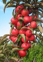 Pilariomenapuu elina