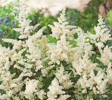 Tarhajaloangervo Astary white