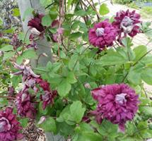 Tarhaviinikärhö Purpurea Plena