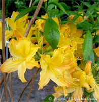 Revontuliatsalea Golden Ligts