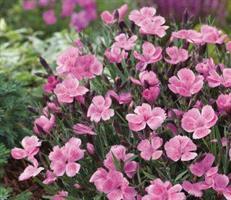 Sulkaneilikka Dinetta soft pink