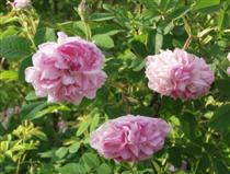 Ruusu Tähtitornikatu