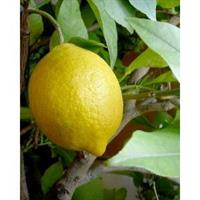 Lemon 100% Essential Oil 10 ml