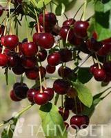 Suklaakirsikka puu Chokoladnaja