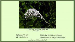 Valkoalpi clethroides