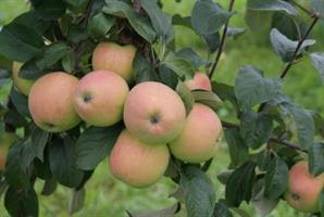 Omenapuu Siloposken nautinto